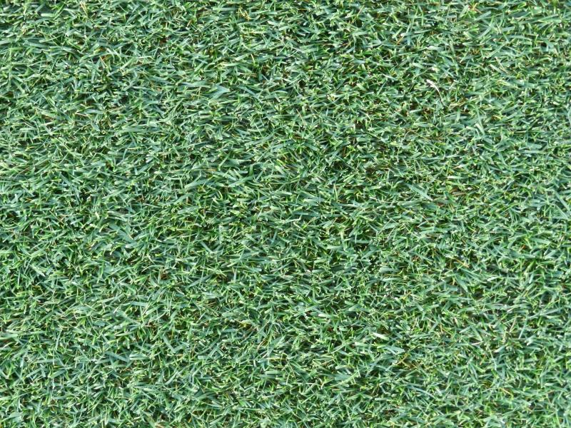 PowerGrass hybrid turfgrass when reaches the desired density